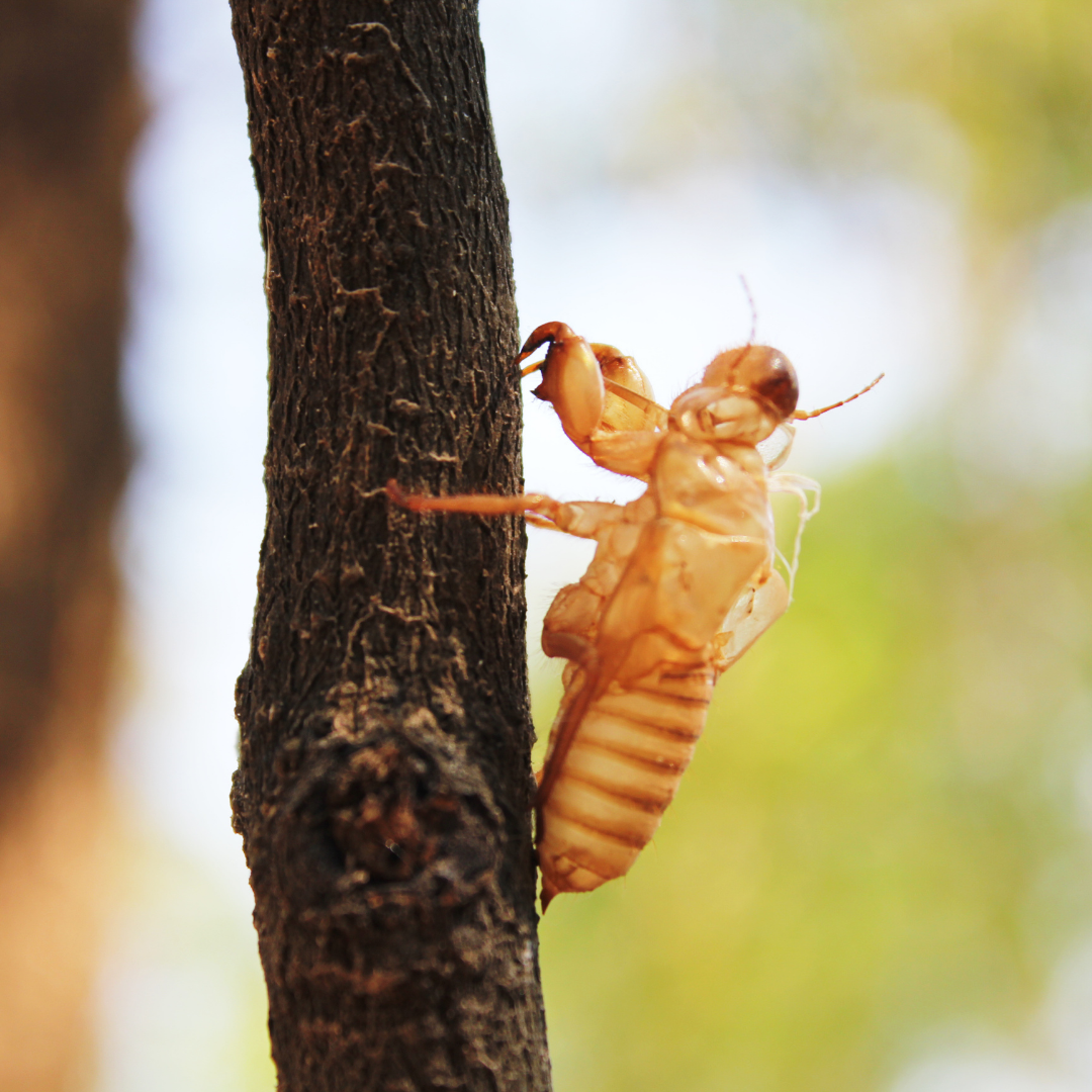 Brood X Cicada (PNG)